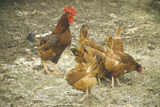 Rooster and Hens Photographic Print