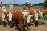 Navajo Family on Horseback Rounding Up Herd of Cattle, AZ Photographic Print