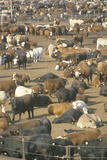Herd of Cows in Dairy Corrals Photographic Print
