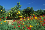 Spring Flowers in Orange Groves, Ventura County, CA Photographic Print