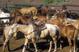 Horses at T Lazy Ranch, Aspen, Co, Maroon Bells Photographic Print