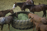 Horses Feeding, Cotton Club Horse Ranch, Malibu, CA Photographic Print