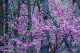 Red Bud in Bloom, Ky Photographic Print