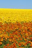 CArlsbad Ranch, Ranunculus, San Diego, CA Photographic Print