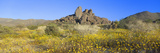 Wild Flowers, North Entrance, Joshua Tree National Park, California Photographic Print