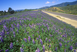 Field of Wildflowers, Route 154, Santa Barbara, CA Photographic Print