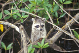 Raccoon in Wild, Everglades National Park, 10,000 Islands, FL Photographic Print