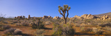 Spring in Joshua Tree National Park, California Photographic Print