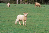 Lamb in Field, New Zealand Photographic Print
