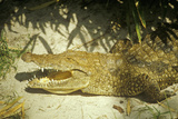 Alligator with Jaws Open Photographic Print