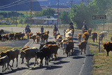 Cattle Drive on Route 12, Escalante, Ut Photographic Print