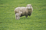 Sheep and Lamb in Farmyard, Spring Photographic Print