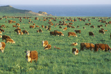 Grazing Hereford CAttle, on Pch, CA Photographic Print