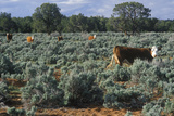 Open Range Grazing Cattle, Ut Photographic Print