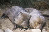 Two Javelinas Lying Together in Hay Photographic Print