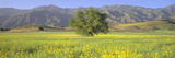 Oak and Mustard in Green Field and Chief Peak, in Upper Ojai Valley, California Photographic Print