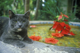 Gray Cat by Lily Pond in Key West Fl, Home of Ernest Hemingway Photographic Print
