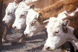 Hereford Cattle Feeding, MO Fotografická reprodukce