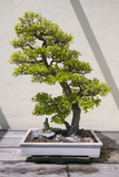 Japanese Bonsai Tree in National Arboretum, Washington D.C. Photographic Print