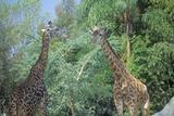 Group of Giraffes, San Diego Zoo, Ca, Masai Giraffe, Giraffa Camelolpardalis Photographic Print
