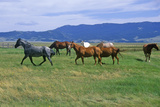 Horses Running in Field, Centennial Valley, Mt Photographic Print
