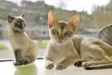The Singapura Breed of Cat, Declared by the Singapore Government to Be a Living National Monument Photographic Print