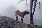 Donkey on Hill with a Tree in Fog Near Great Barrington, Ms Stampa fotografica