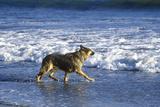 German Shepard Running in Surf, Northern CA Photographic Print