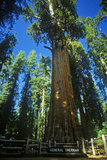 Redwood Tree in Forest, CA Photographic Print