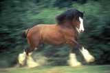 Dancing Clydesdale Horse, St. Louis, MO Photographic Print