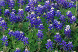 This Is a Close Up of a Field of Blue Bonnets in the Hill Country Along Willow City Loop Road Photographic Print