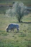 White Bison, White Clouds, Sacred Buffalo, National Buffalo Museum, Jamestown, Sd Photographic Print