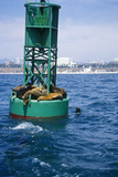 Seals on Buoy, Santa Monica Bay, Santa Monica, CA Photographic Print