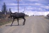 Moose Crossing Road, Al Photographic Print