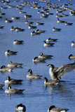 Flock of Ducks on Pond, Pierre, Sd Photographic Print