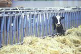 Holstein Cow Feeding in Barn Photographic Print