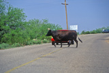 Bull Crossing Road in Front of Car, Oracle, AZ Photographic Print