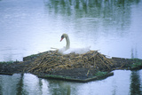 Nesting Swan in Lake, Middleton Plantation, Charleston, Sc Impressão fotográfica