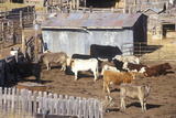 Cattle in Pen, Mt Photographic Print