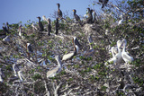 Cormorants and Brown Pelicans at Everglades National Park, 10,000 Islands, FL Photographic Print