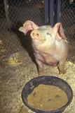 Piglet Eating, Los Angeles County Fair, Pomona, CA Photographic Print