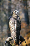 Red Tailed Hawk, Land Between Lakes, Ky Photographic Print