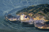Sea Turtle, Sea World, San Diego, CA Photographic Print