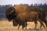 Adult and Calf Buffalo Standing in Field, Ne Fotodruck