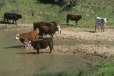 CAttle Drinking Out of Stream, Central CA Photographic Print