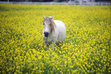 White Horse in Mustard Field, Springtime, Ojai, CA Photographic Print
