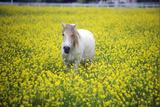 White Horse in Mustard Field, Springtime, Ojai, CA Photographic Print