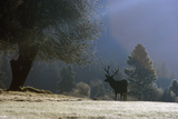 Elk at Sunrise, Yosemite, CA Photographic Print