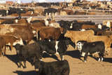 Cattle in Feed Lots, CO Photographic Print