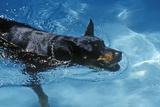 Doberman Swimming in Pool, NJ Photographic Print
